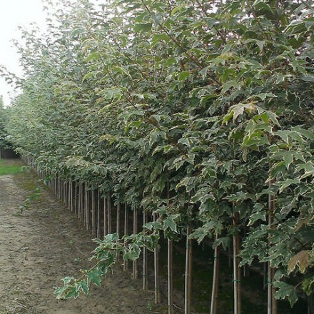 Acer plat Drummondii