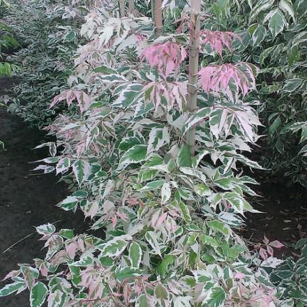 Acer neg Flamingo